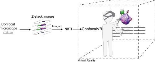 ConfocalVR: Immersive Visualization for Confocal Microscopy