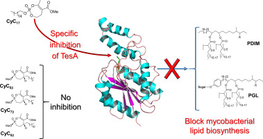 TESA的生化和结构表征,一个主要的硫酯酶需要外信封脂质生物合成结核分支杆菌
