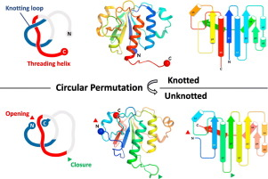 Untying a Protein Knot by Circular Permutation - ScienceDirect