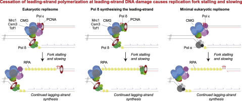Dynamics Of Replication Fork Progression Following Helicase Polymerase Uncoupling In Eukaryotes Sciencedirect