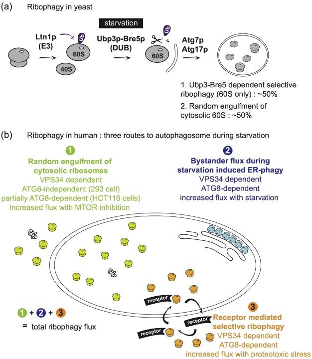 Ribosome Abundance Control Via the Ubiquitin–Proteasome System and