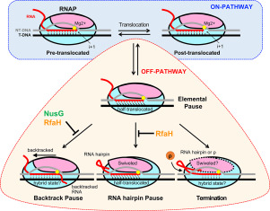 Mechanisms of Transcriptional Pausing in Bacteria - ScienceDirect