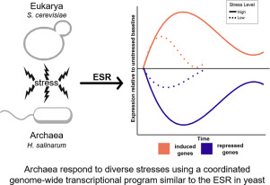 Global transcriptional programs in archaea share features