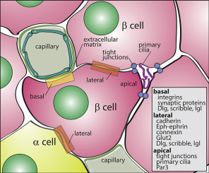 The Role of the Islet Niche on Beta Cell Structure and Function ...