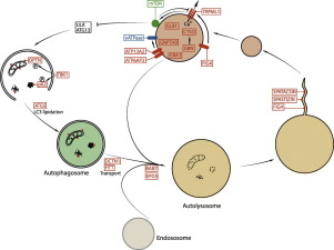 2301 honda h engine diagram impairment of lysosome function and autophagy in rare  lysosome function and autophagy in rare
