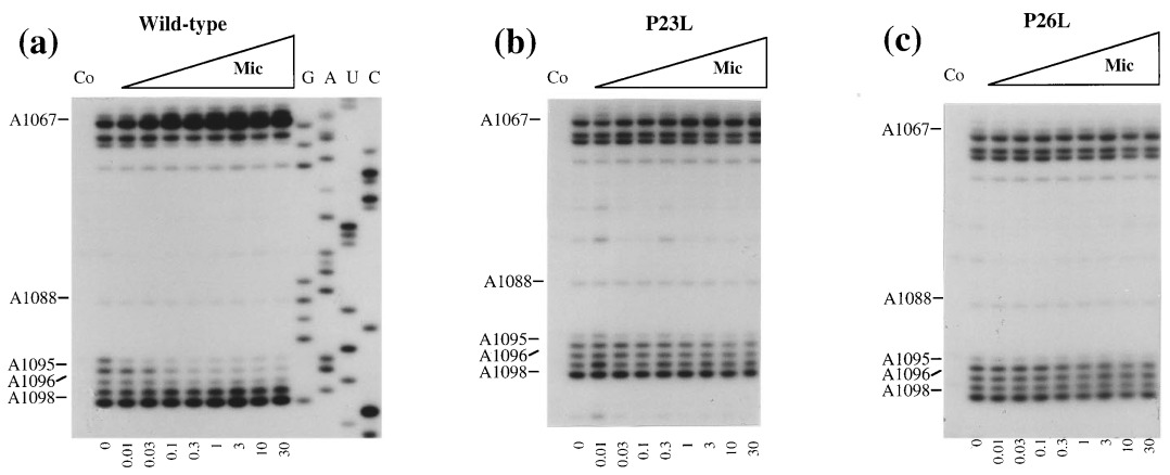 The antibiotic micrococcin acts on protein L11 at the ribosomal ...