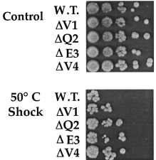 Role of an α-helical bulge in the yeast heat shock transcription