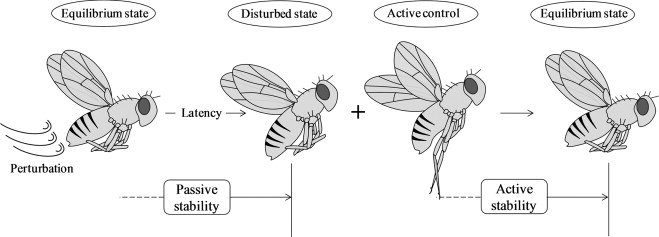 Perturbation analysis of 6dof flight dynamics and passive dynamic schematic diagram of passive and active stability during flapping flight during a latency period fruit flies exhibit passive response without any active ccuart Choice Image