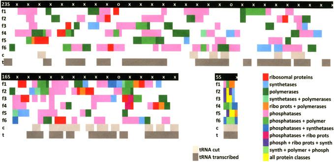 Карта, иллюстрирующая расположение tRNAs и белков в различные рамки считывания