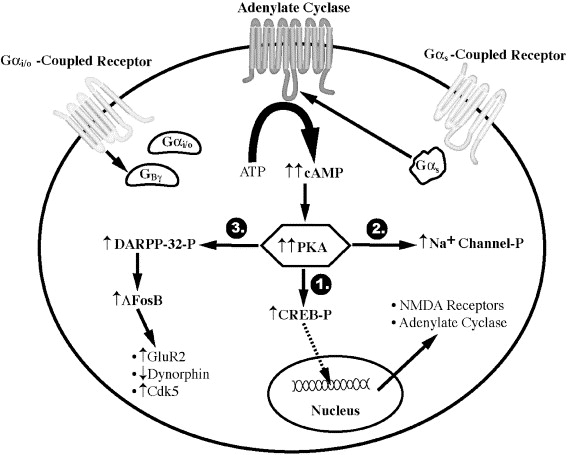 Sensitization Of Adenylate Cyclase A General Mechanism Of