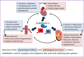 Endothelin and endothelin receptors in the renal and