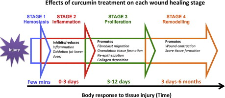 Curcumin As A Wound Healing Agent Sciencedirect