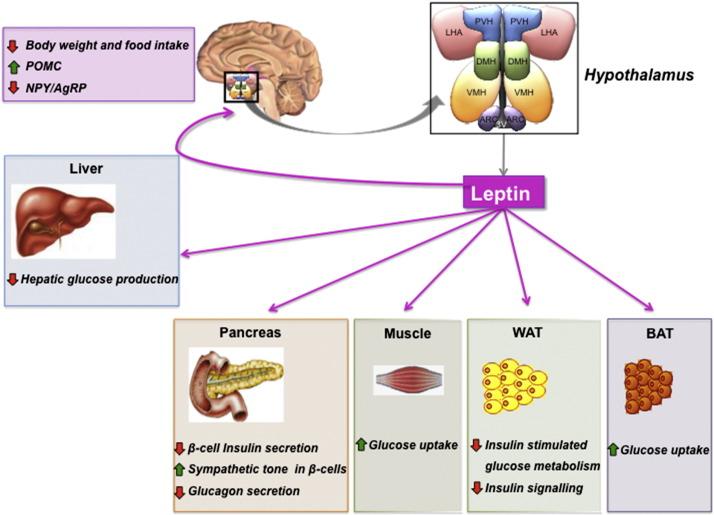 leptin and glucose homeostasis