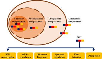 nucleoplasm function