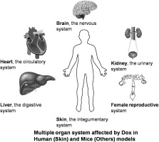 Toxicity of Doxorubicin (Dox) to different experimental organ