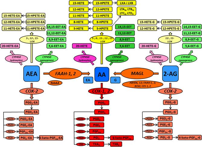 Enhanced endocannabinoid tone as a potential target of