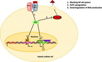 Antioxidant and immunomodulatory activity induced by