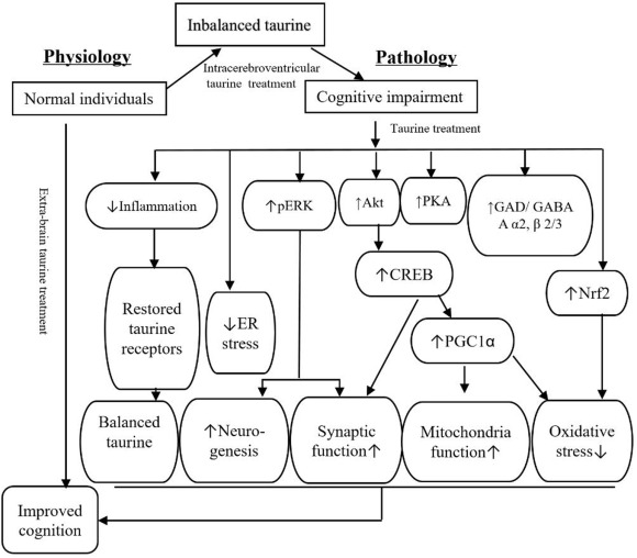 Roles of taurine in cognitive function of physiology