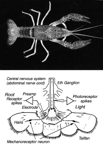 Stochastic resonance and synchronization in the crayfish caudal a schematic diagram of the crayfish mechanoreceptive system showing hairs sensory afferents the root receptors ccuart Gallery