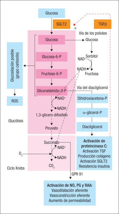 inhibidores del as diabetes arteriolas eferentes