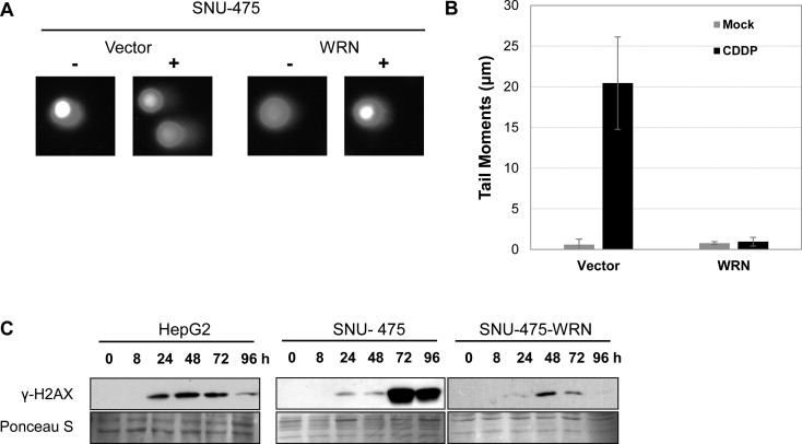 WRN translocation from nucleolus to nucleoplasm is regulated