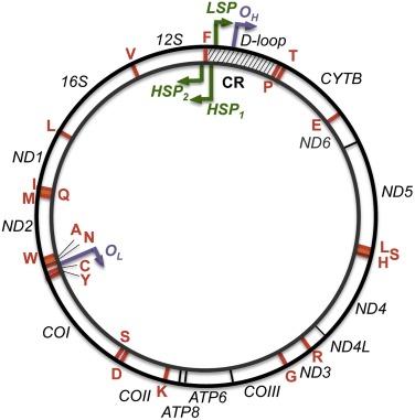 Replication Stress In Mitochondria