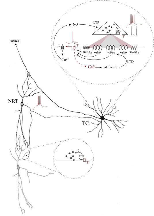 Gaba Receptors And T Type Ca2 Channels Crosstalk In Thalamic