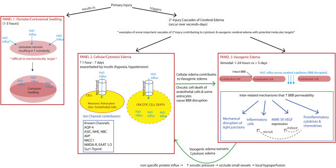 Pathophysiology and treatment of cerebral edema in traumatic brain
