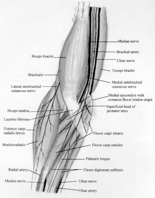 ANATOMY OF THE ELBOW - ScienceDirect