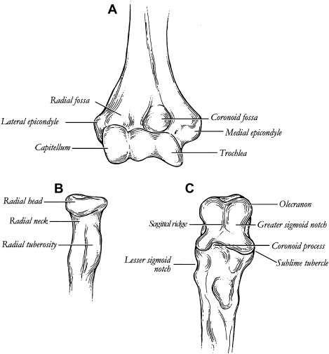 Contemporary Tubercle Anatomy Definition Ideas - Anatomy And ...