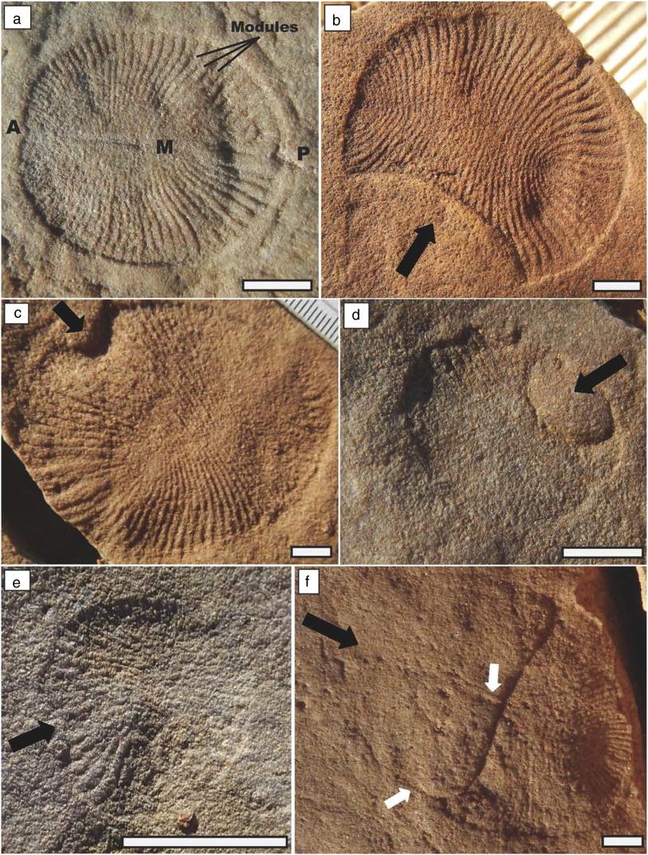 Risultati immagini per Dickinsonia : world's oldest fossil animal