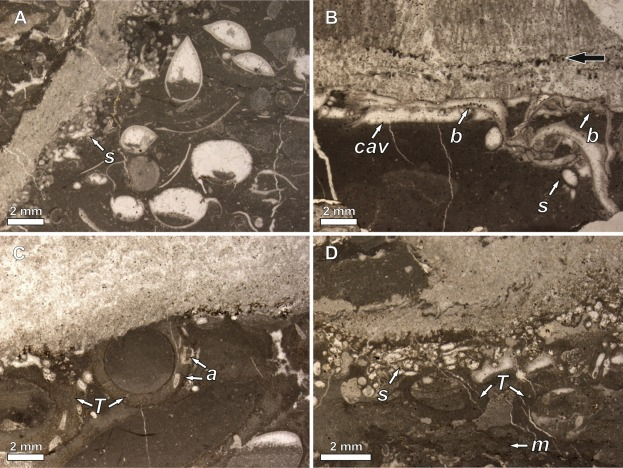 Platy corals from the Middle Triassic of Upper Silesia