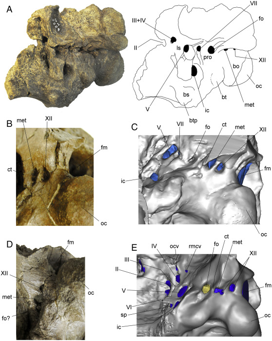 Neuroanatomy of the ankylosaurid dinosaurs Tarchia teresae and