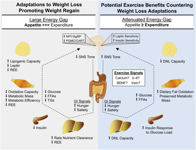 Is regular exercise an effective strategy for weight loss