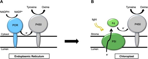 Expression and membrane targeting of an active plant cytochrome p450 a cytochrome p450 has been expressed in chlamydomonas chloroplasts and targeted into the membranes in an active form ccuart Images