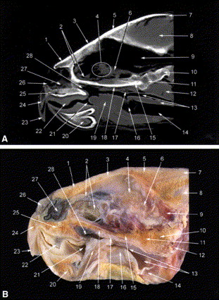 Computed tomographic anatomy of the head of the loggerhead sea ...
