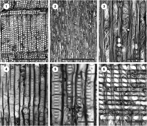 First occurrence of the boreal fossil wood Xenoxylon meisteri from
