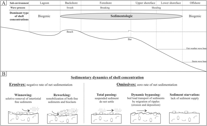 Shell concentration dynamics driven by wave motion in flume