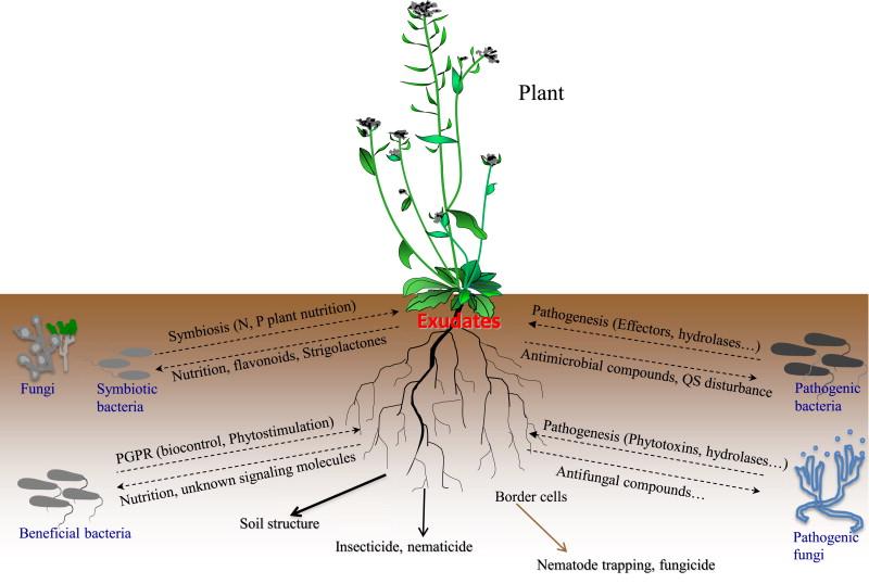 Root exudates mediated interactions belowground - ScienceDirect