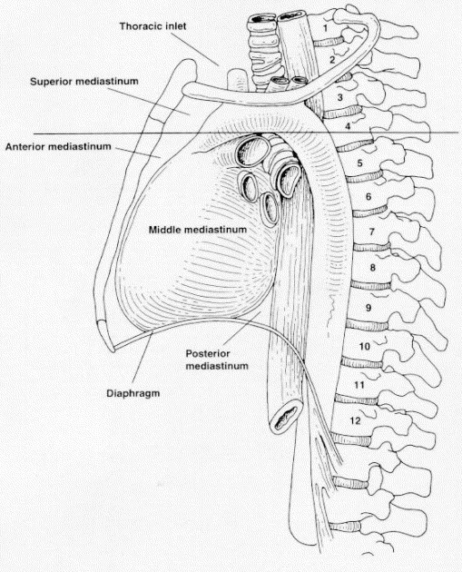 EMBRYOLOGY AND SURGICAL ANATOMY OF THE MEDIASTINUM WITH CLINICAL ...