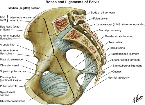 Surgical Exposure And Anatomy Of The Female Pelvis Sciencedirect