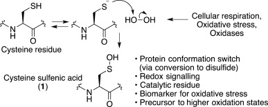 norbornene probes for the study of cysteine oxidation sciencedirect