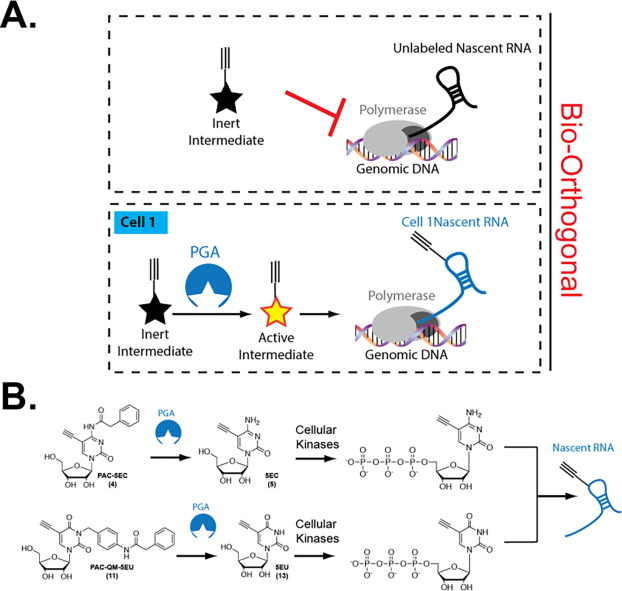 Protected Pyrimidine Nucleosides For Cell Specific Metabolic