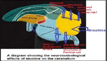 Neurotoxicological effects of nicotine on the embryonic