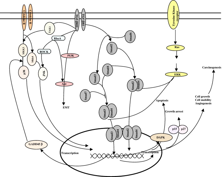A Role For Transforming Growth Factor Apoptotic Signaling Pathway
