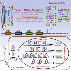 Genome-wide identification and analysis of Nrf2 binding