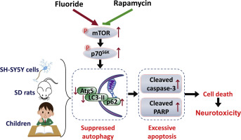 Effects of long-term fluoride exposure on cognitive ability and the
