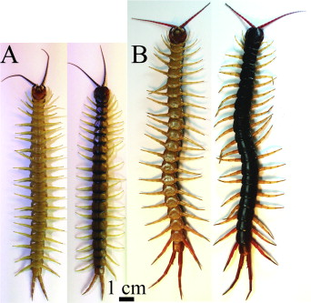 Variation in venom yield and protein concentration of the