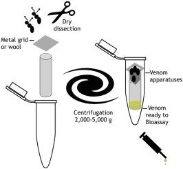Speedy milking of fresh venom from aculeate hymenopterans