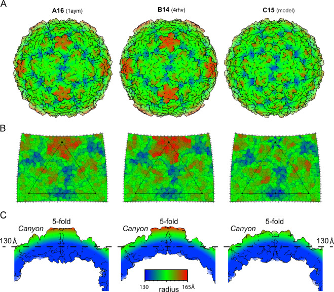 Modeling Of The Human Rhinovirus C Capsid Suggests A Novel Topography With Insights On Receptor Preference And Immunogenicity Sciencedirect
